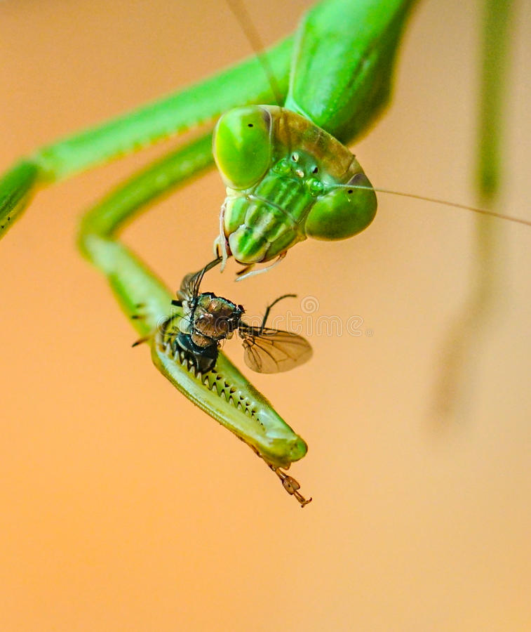 Praying Mantis eating a fly royalty free stock photo