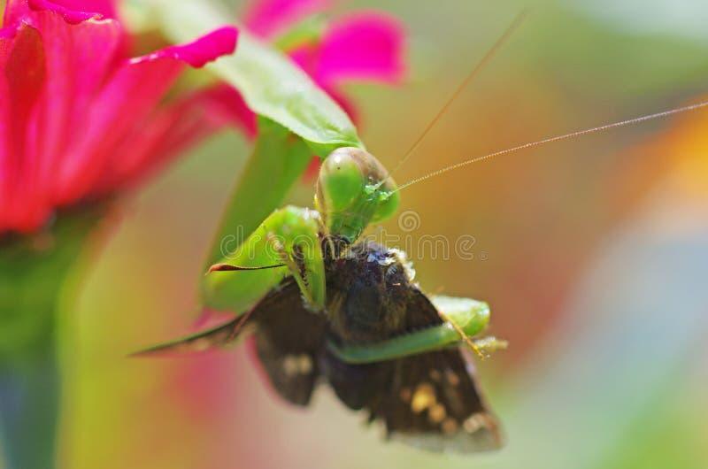 Download Praying Mantis Eating A Moth Stock Image - Image: 34437289