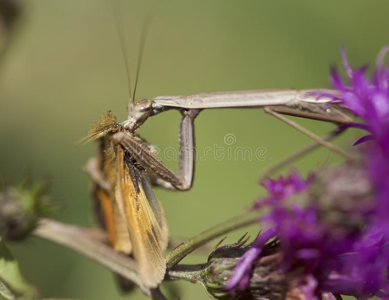 Praying mantis eating skipper butterfly royalty free stock image