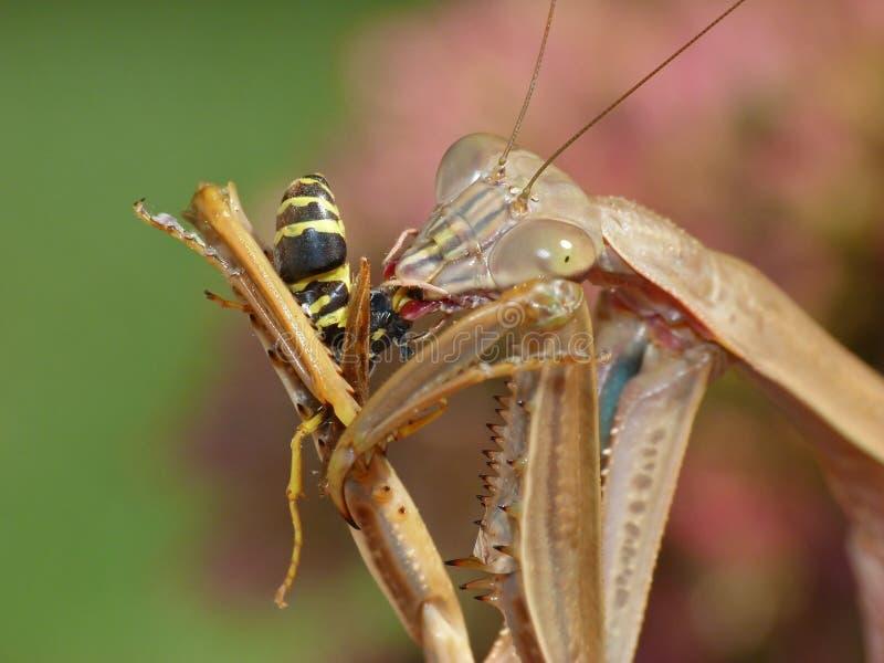 Praying Mantis Eating a Wasp stock photo
