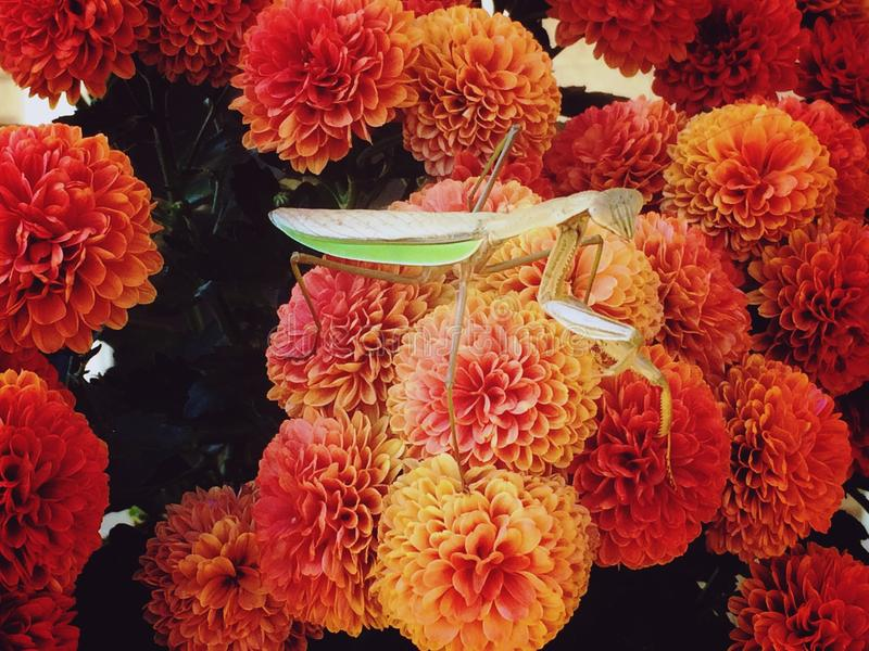 Praying mantis royalty free stock photography