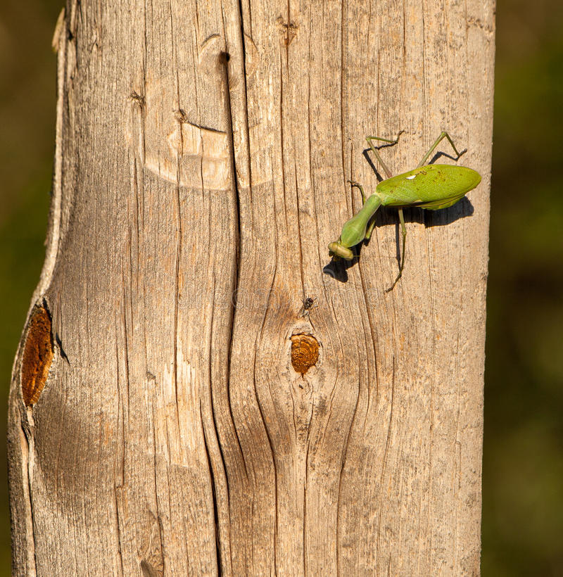 A Praying mantis and a fly