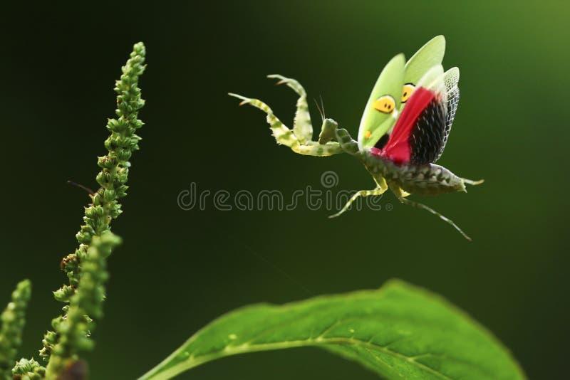 Praying mantis flying royalty free stock images