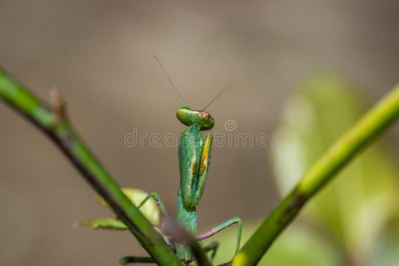 Praying mantis on a green stem stock image
