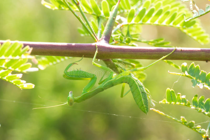 Download Praying Mantis Hanging From A Branch Stock Photo - Image of stagmomantis, mantodea: 63191034