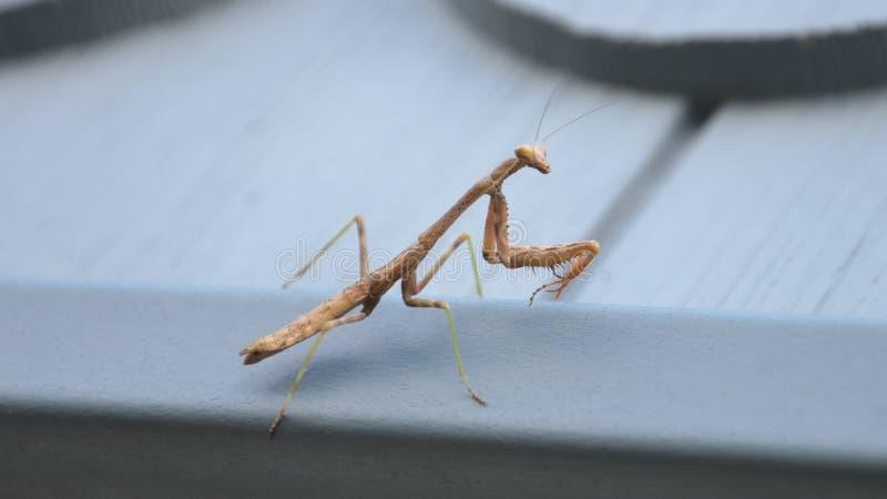 Praying Mantis on House arkivfoto