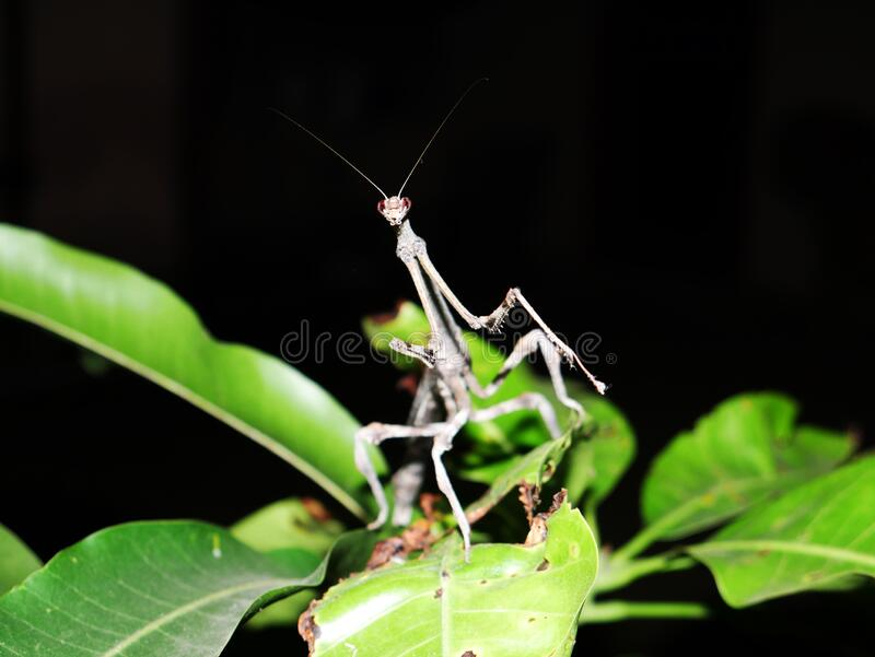 Praying mantis. Insects royalty free stock photo