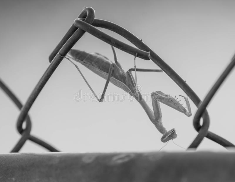 Praying Mantis inverted BW royalty free stock photos