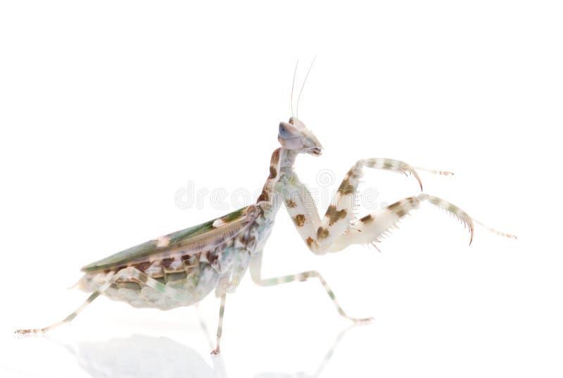 Download Praying Mantis stock image. Image of insect, green, praying - 31167107