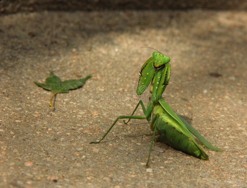Praying Mantis. Looks at the camera royalty free stock image