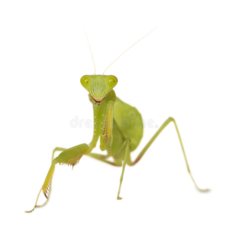 Download Praying Mantis - Mantis Religiosa Stock Image - Image: 5205977