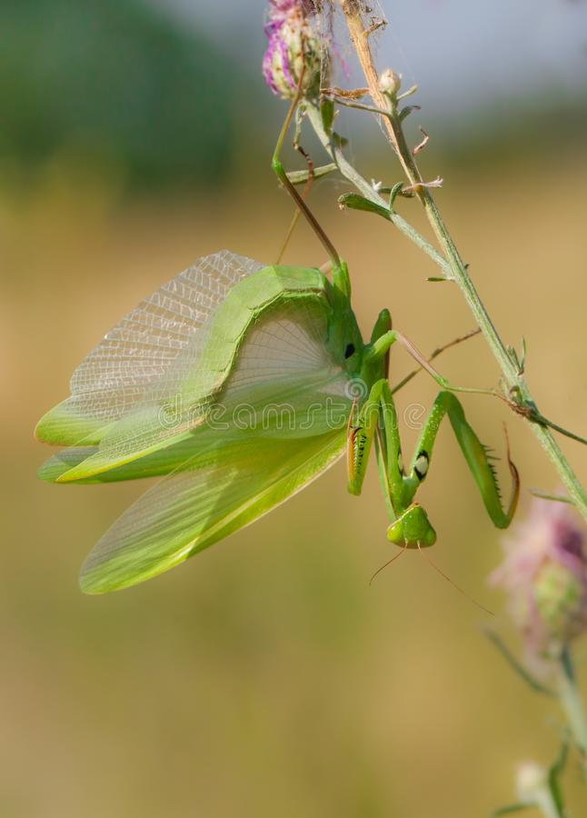 Praying mantis Mantis religiosa in Czech Republic royalty free stock photo