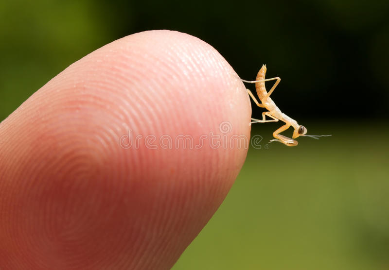 male praying mantis baby