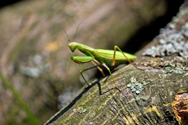 Praying Mantis In Natural Environment Royalty Free Stock Photos
