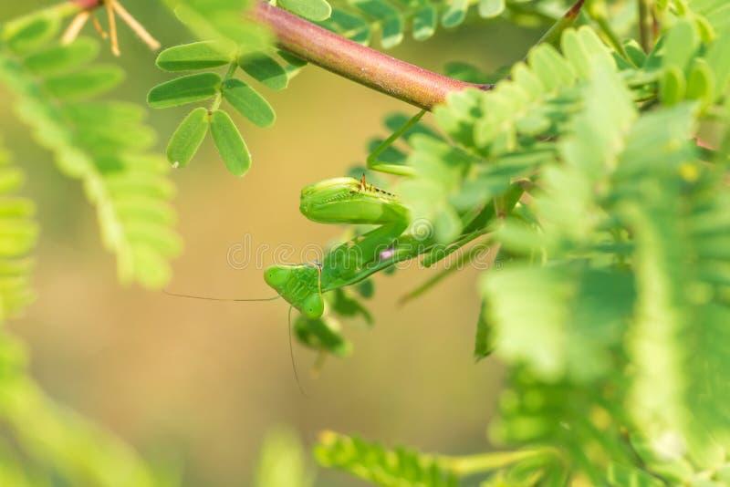 Download Praying Mantis Portrait stock image. Image of animalia - 63190905