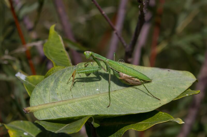 Praying Mantis. Resting on a common milkweed leaf royalty free stock photography