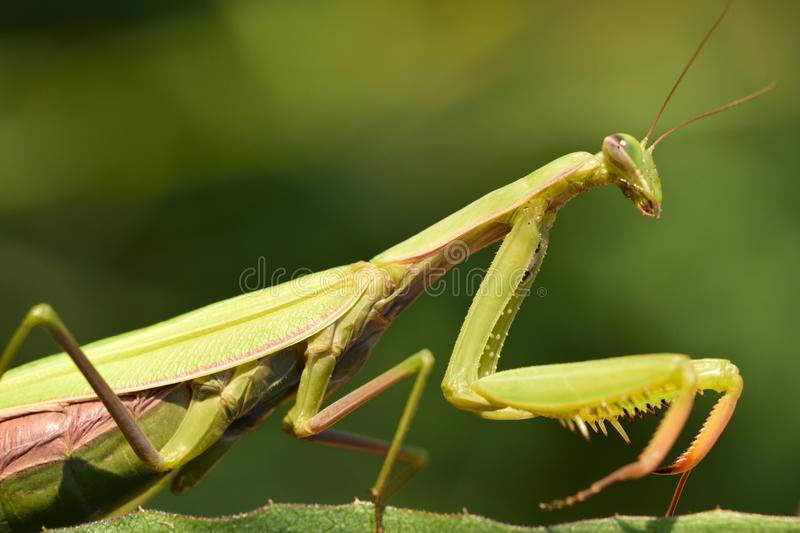 Praying Mantis Pregnant Stock Image Image Of Insect 112506041