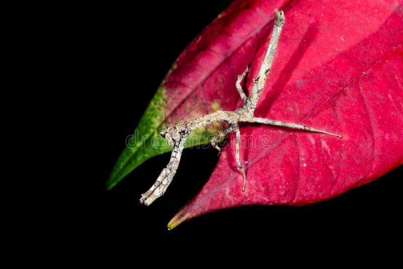 Download Praying mantis, ranomafana stock image. Image of insect - 26749983