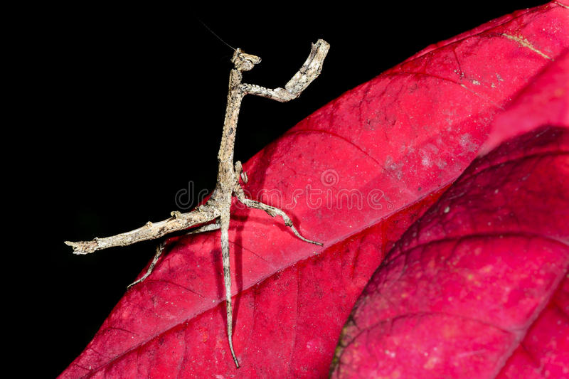 Download Praying mantis, ranomafana stock photo. Image of forest - 26749992