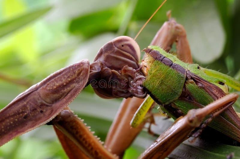 Download Praying Mantis's Food Royalty Free Stock Photography - Image: 28597917