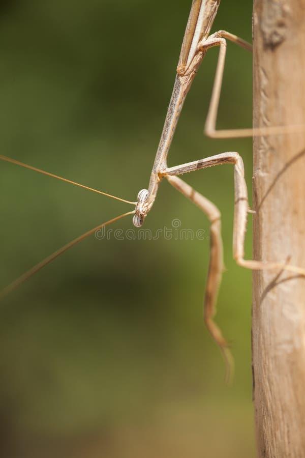 Praying Mantis on a tree royalty free stock images
