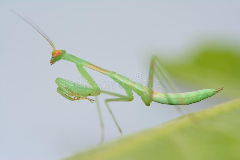 Download Praying Mantis Stock Photos - Image: 37128033