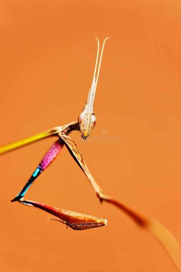 Praying mantises stock photos
