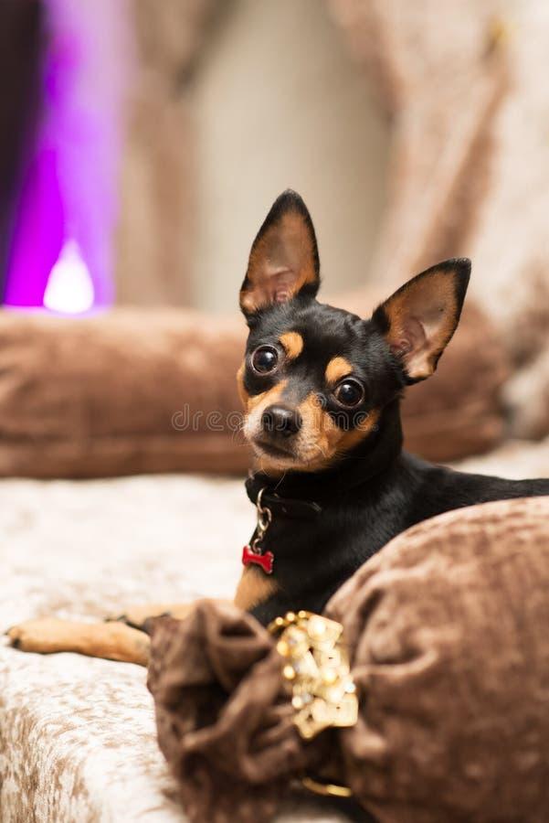 Prazsky (Prague) krysarik little dog in club. Rattler. Prazsky (Prague) krysarik little dog in club stock images