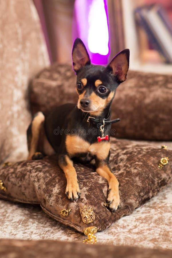 Prazsky (Prague) krysarik little dog in club. Rattler. Prazsky (Prague) krysarik little dog in club stock photo