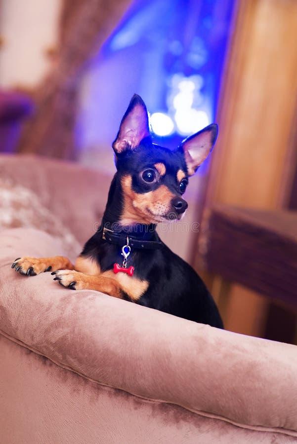 Prazsky (Prague) krysarik little dog in club. Rattler. Prazsky (Prague) krysarik little dog in club royalty free stock photos
