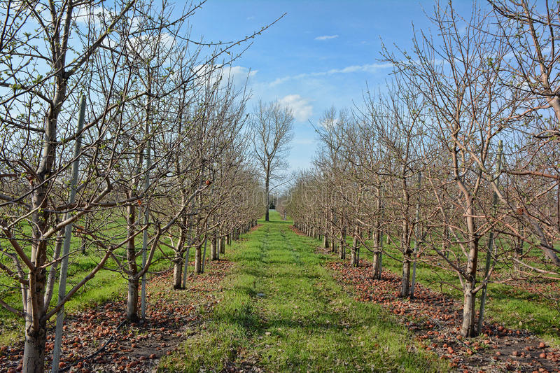 Pre-Blossom Apple Orchard royalty free stock image