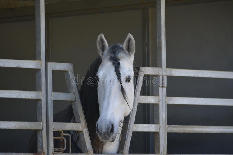 PRE stallion braided forelock stock image