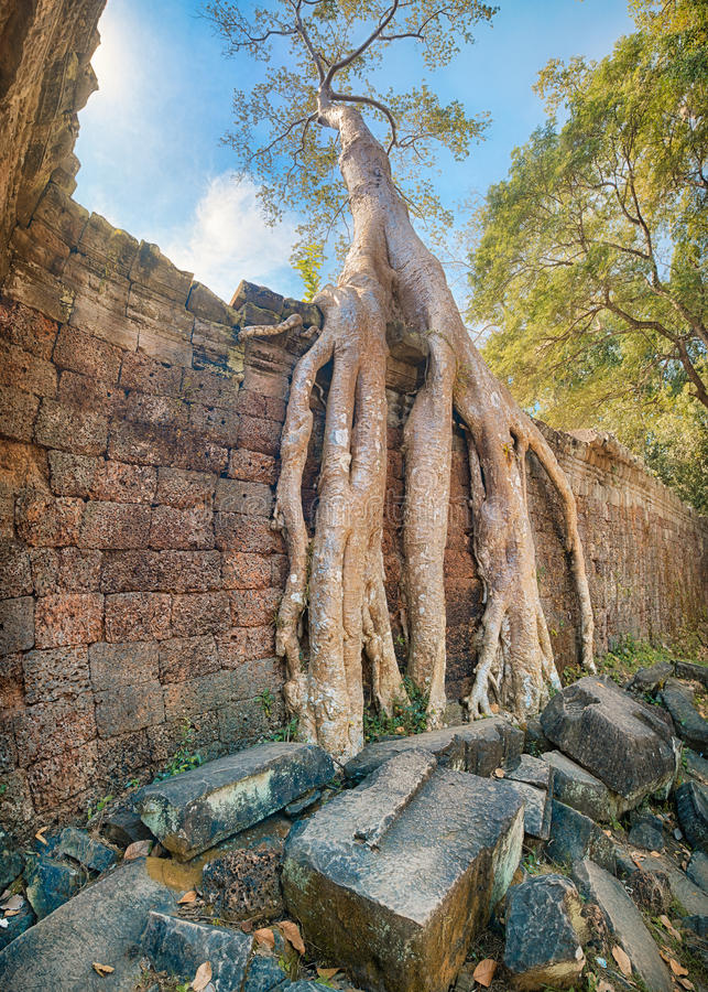 Preah Khan Temple rotar det forntida trädet, Angkor arkivfoto