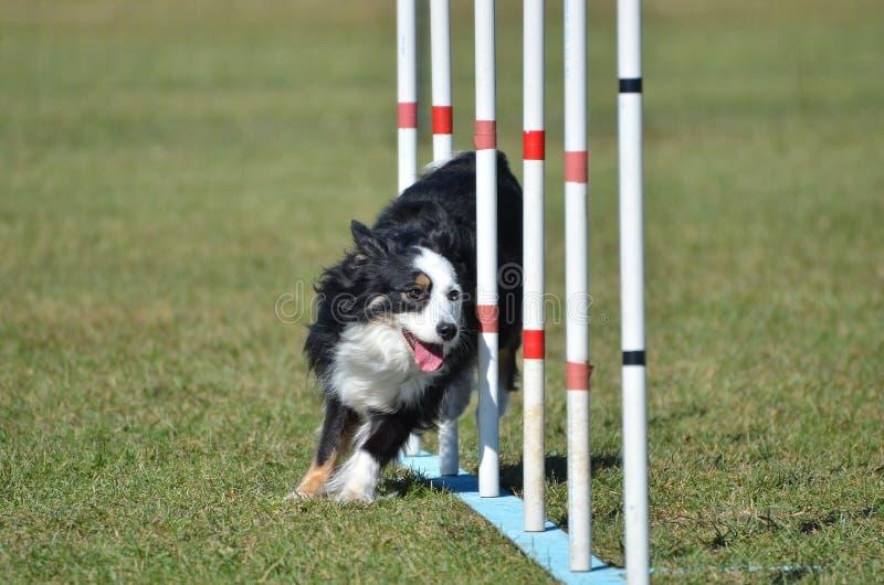 (Precedentemente pastore americano miniatura dell'australiano) alla prova di agilità del cane fotografie stock libere da diritti