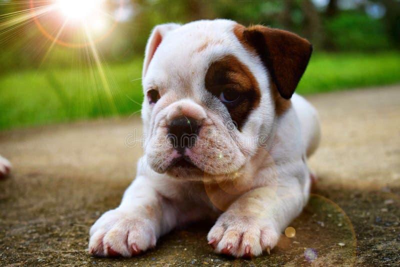 Preciosa de Inglés del dogo del cachorra de Ariel foto de archivo libre de regalías
