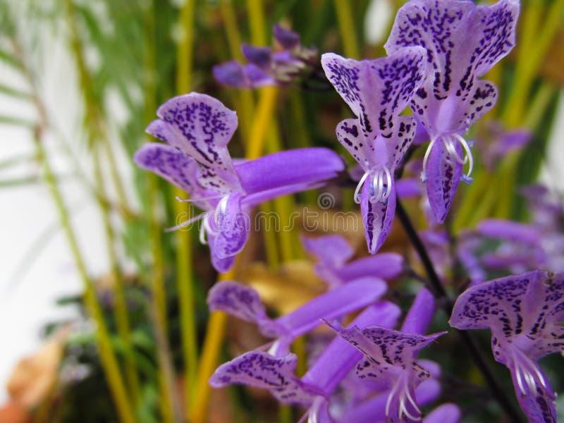 Mini Orquídeas Moradas Con Fondo De Palmeras. Preciosas Orquídeas miniatura en color morado o lila con pequeñas lenguas blancas y dibujos en color má stock photography