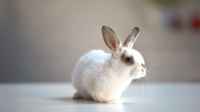 Precioso poco conejo que se sienta en la clínica veterinaria, para examen que espera imagen de archivo libre de regalías