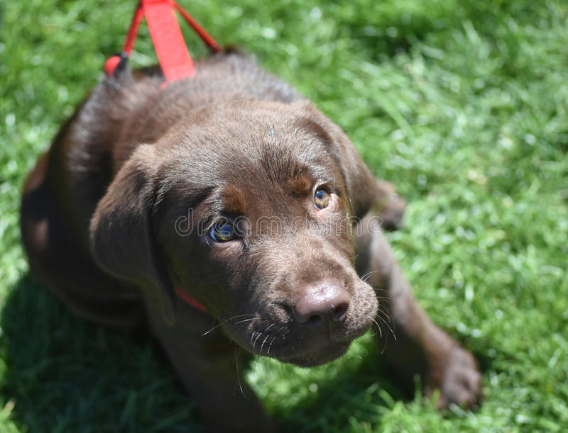 Precious Three Month Old Chocolate Lab Puppy Looking Up royalty free stock images