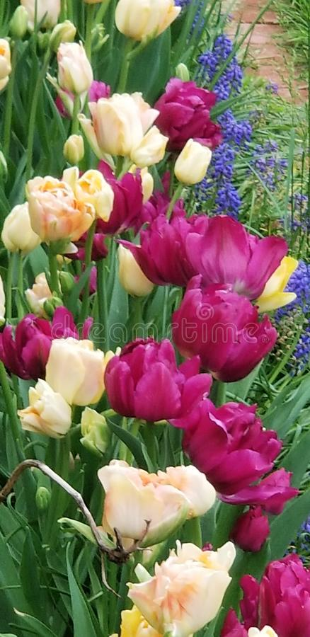 Precious Tulip Time in the Country World stock photos