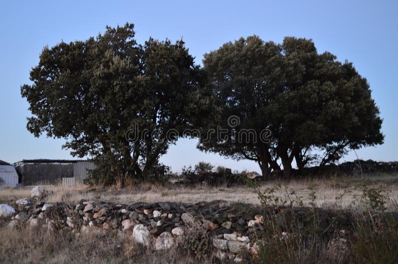Precious Twin Holm Oak At Sunset In Becerril. Landscape Holidays Travel royalty free stock photography