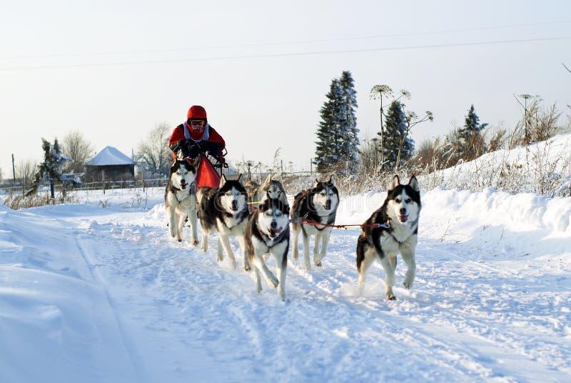 Precipitação dos cães de puxar trenós Siberian em um chicote de fios fotografia de stock