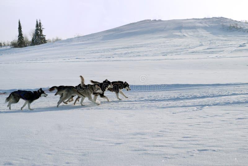 Precipitação dos cães de puxar trenós Siberian em um chicote de fios fotografia de stock royalty free