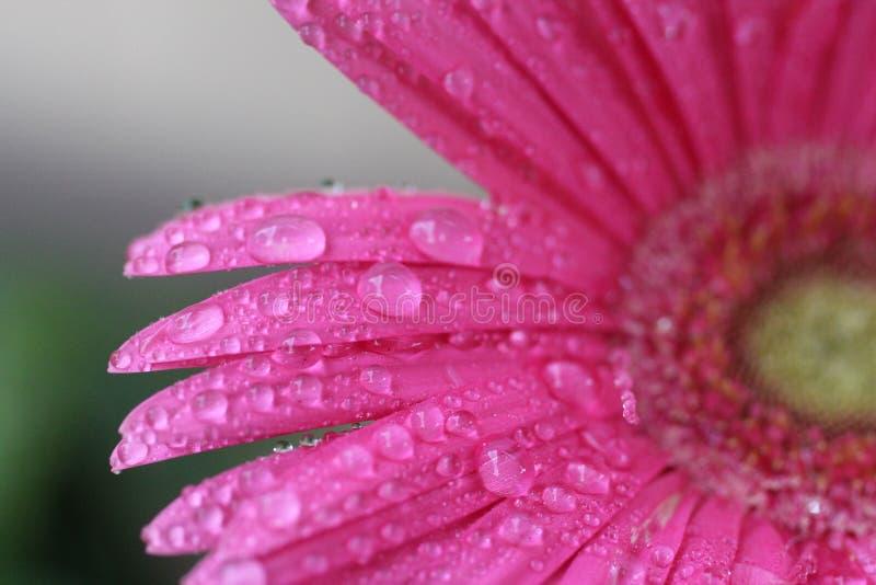 Precipitazione rosa fotografia stock libera da diritti