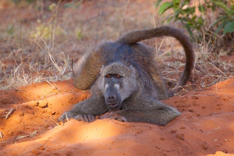 Precis en babian som kyler i den Chobe nationalparken, Botswana arkivbilder