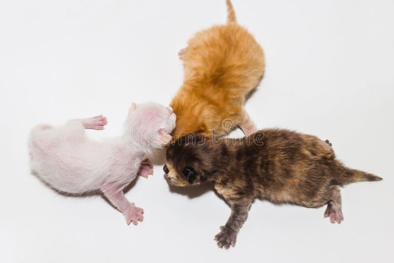 Precis nyfödd kattunge royaltyfri fotografi