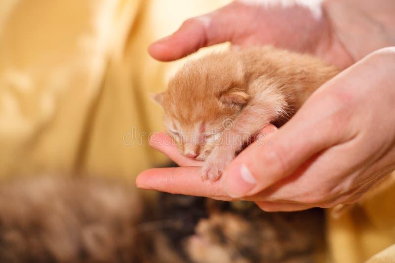 Precis nyfödd röd kattunge i kvinnlighänder och en moderkatt på en bakgrund arkivbilder