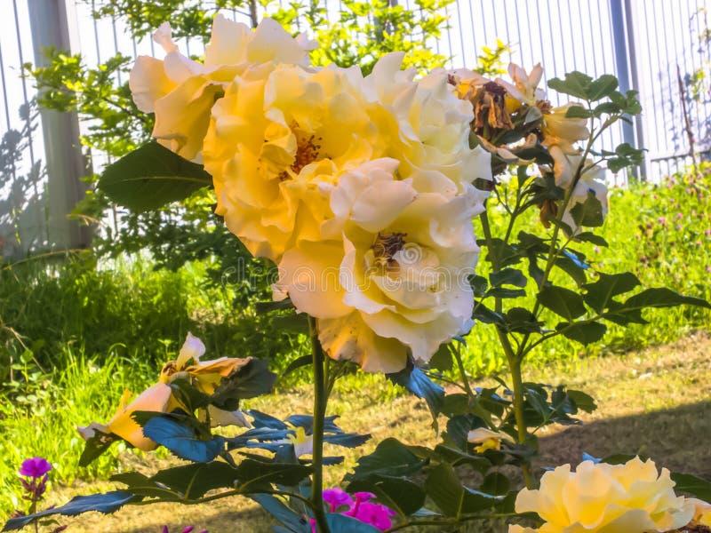 Precis rosor på en solig sommardag royaltyfri bild