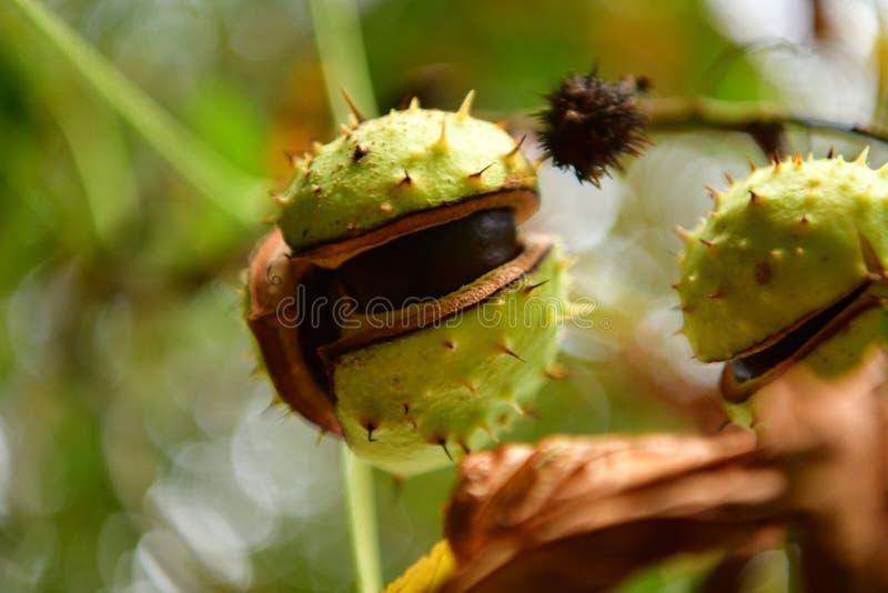 Precursores de la castaña que vienen más cerca en otoño fotos de archivo libres de regalías