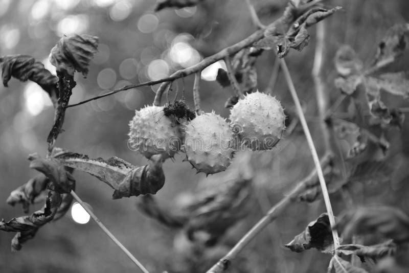 Precursores de la castaña que vienen más cerca en otoño imagenes de archivo