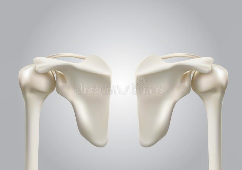Precyzyjni medyczni 3D wizerunki ludzkie naramienne kości ilustracji